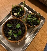 父親が昔使っていた水槽を掃除していた際、植物は陸でも育つと父が言うのでこのまま捨てるぐらいなら育ててみることにしました。 植物の育て方が分からないので調べようとしたのですが、生憎父は植物の名前が分からず調べ用がございません。 誰かこの植物達の名前を教えて頂けませんでしょうか。