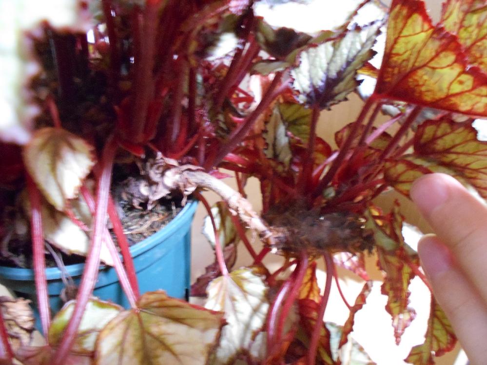 レックスベゴニアなのですが、 鉢から飛び出した部分が重くなり、倒れてきました。 これは、茎を切って挿し木できるでしょうか。 それとも挿し木せず、 このまま鉢増しして這わせるように仕立てる方が簡単でしょうか。