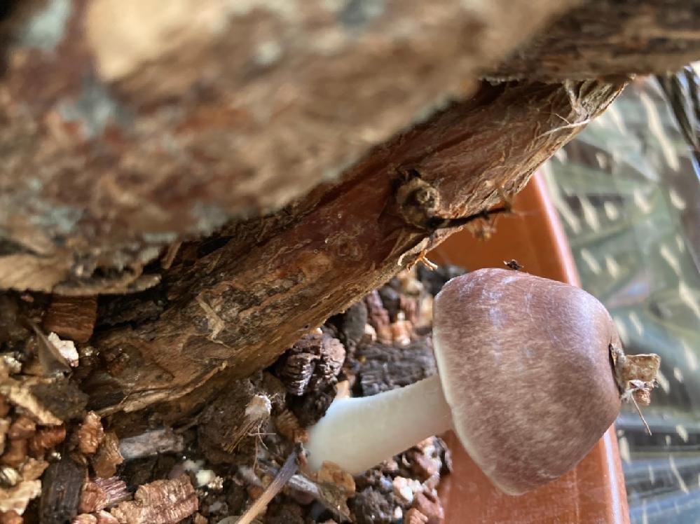 このキノコにも名前がありますでしょうか。観葉植物に生えてました