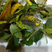 これは黒星病ですか? 病気っぽい葉の隣の葉も毟り、ベニカスプレーはしたのですが、今の時期は葉は毟らない方が良かったでしょうか?