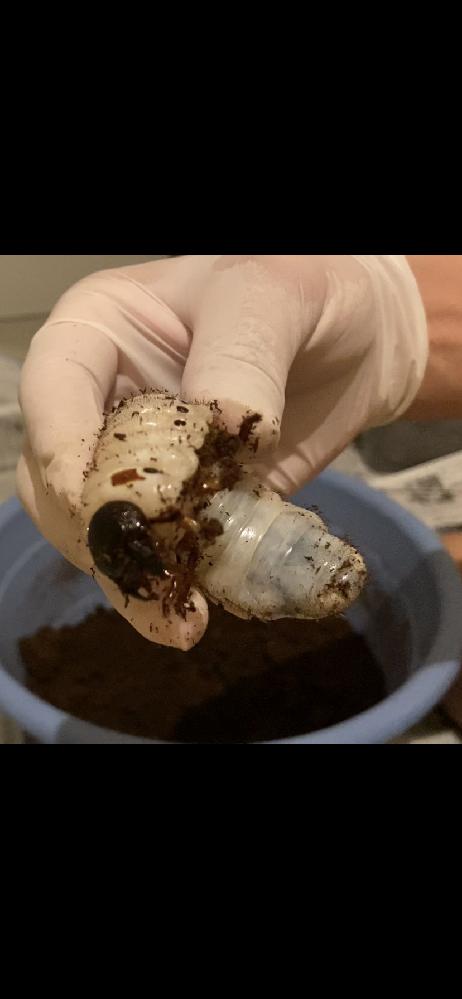 このヘラクレス幼虫、オスかメスか分かりますか?