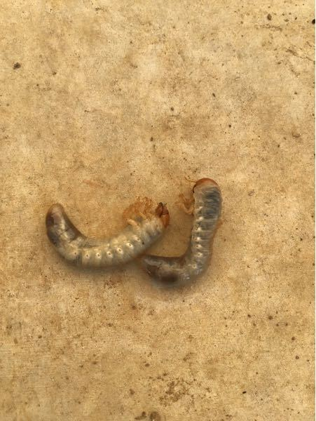 写真の虫の名前のわかる方、教えてください。長さ4cm位の虫です。土の中にいました。
