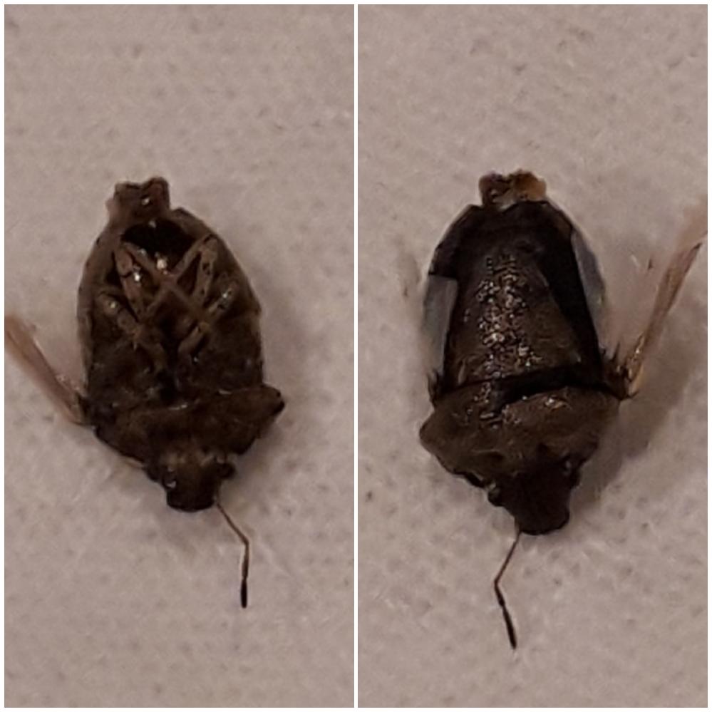 この虫はなんという虫でしょうか? 害はあるんでしょうか? 洗面所の床で見つけましたが、すでに死んでいました。 どこから来たのかもわかりません。 写真がよくないですが、背中側とお腹側です。