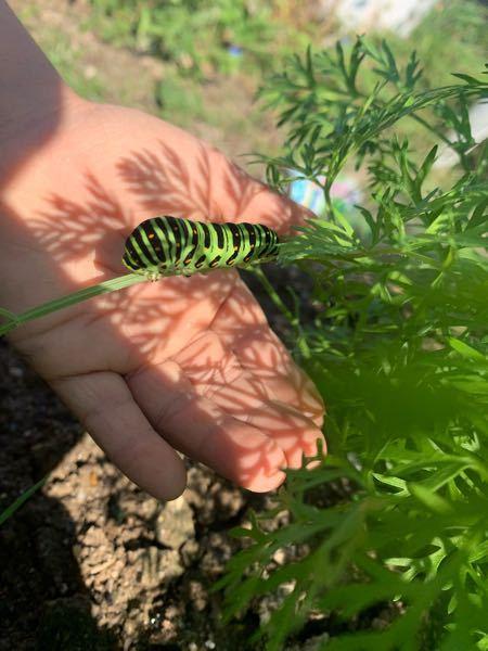 これは何の幼虫ですか?