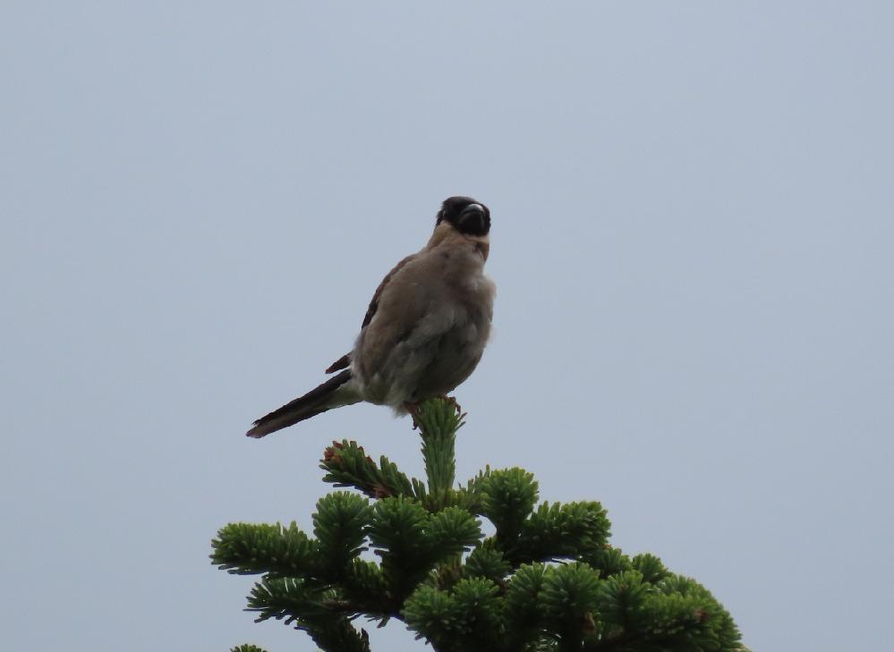 この鳥の名前を教えてください。 9月中旬に青森県の八甲田山の登山道で見かけました。 よろしくお願いします。