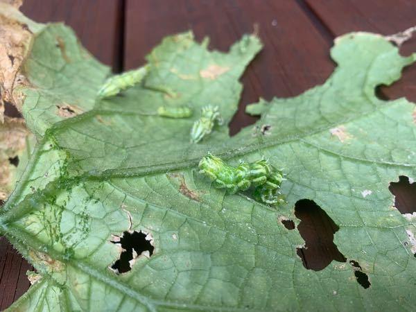 屋外水耕栽培のキュウリが元気なくなったので確認したところ、葉っぱにこの青虫が大量にくっついていました。 これ何の幼虫でしょうか?