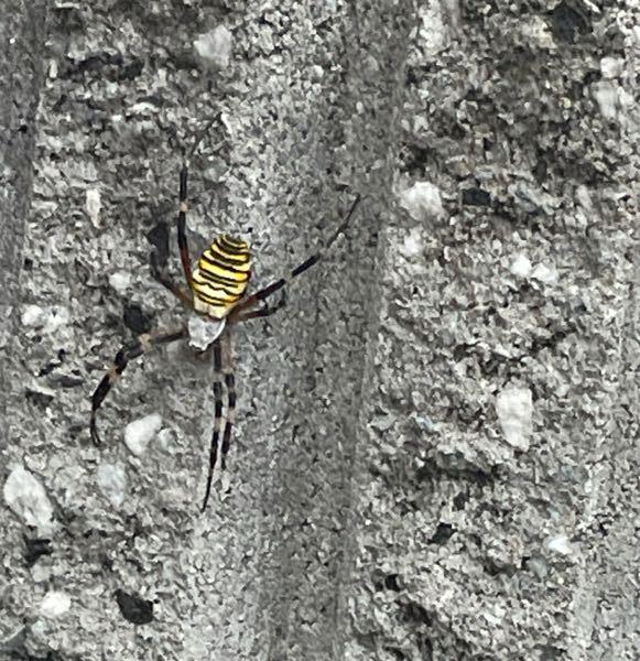 この蜘蛛の種類はなんですか? 毒はありますか?