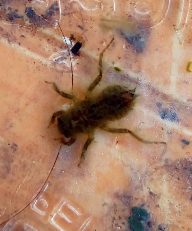 最近プランター(外)でメダカを飼い始めたのですが、少し前からこのような虫が3匹ほど泳いでいます。 この虫がなんなのか知りたいです!