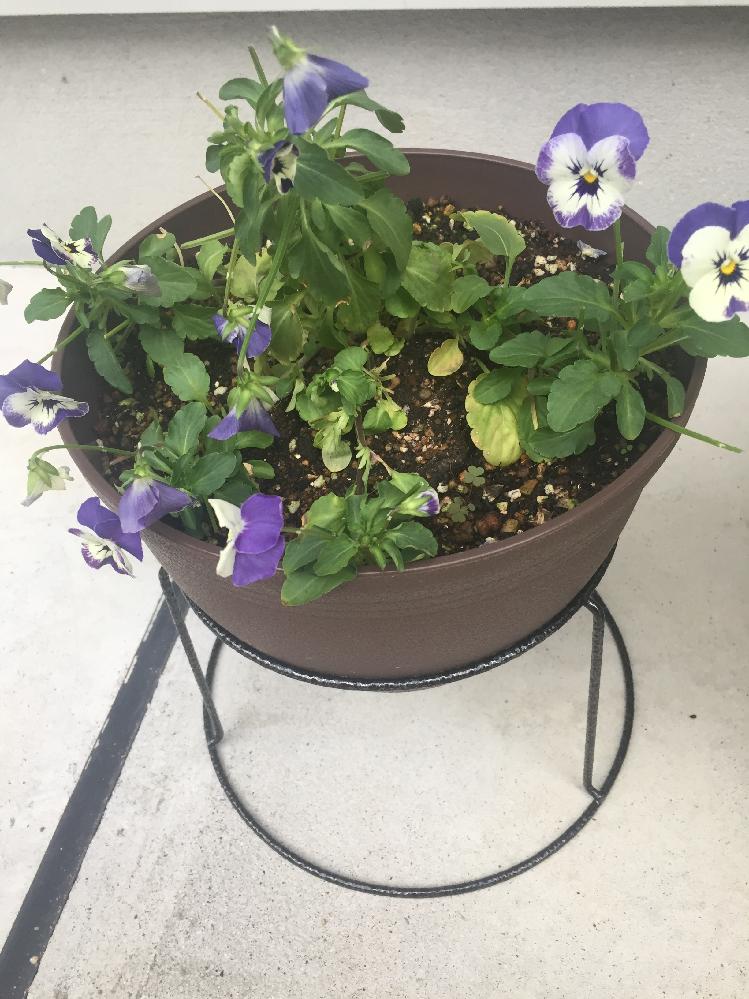 ビオラが貧弱です。教えてください。 ガーデニング初心者です。 10日前にビオラを植えました。直径30センチほどの鉢です。ビオラと言えば、たくさんの花が咲き、こんもりとしたイメージでしたが、画像のようにとても貧弱です。花柄摘みはこまめにしています。中の方の葉は黄色くなっていたので取りました。 液体肥料もやりました。 このままだと、春まで持たない気がします。枝ばかり伸びて、とてもこんもりとしたビオラになるとは思えません。 何か手立てはありますか? 日当たりもいいです。