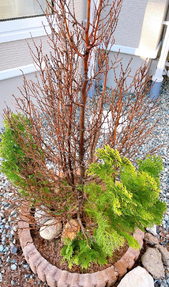 庭の植栽が枯れました。 4月に植えて、元気な緑だったのに8月中旬に全体的に茶色くなりました。 日差しの強い場所に植えてるので焼けたのかな、と思っていましたが太い幹から新しい枝が生え、そこから緑色の葉も見られます。 枯れてた葉は振って落としてしまいました。 茶色くなった枝はどうしたらいいですか? ポキっと簡単に折れます。 新しい枝以外は切ったほうがいいのでしょうか? ちなみに、植栽の名前はわかりません。 実家で育てていたものを父が持ってきて植えました。土は栄養のある土を入れています。あと、栄養剤もブスっと差し込んでます。 素人なのでこれ以上どうしていいか分かりません。 詳しい方教えてください!