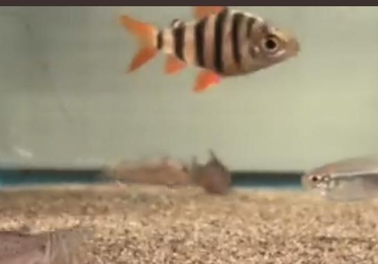 この写真の縦縞模様の熱帯魚は何という種類でしょうか?