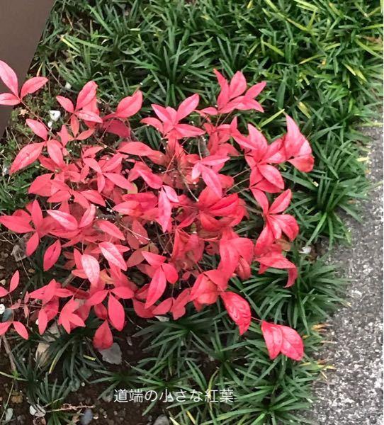 写真の紅葉している植物の名前を教えてください。