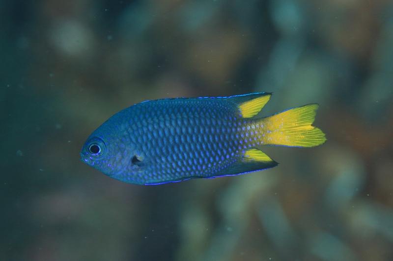 お魚の名前を教えて下さい。 2021.10.16 柏島付近で撮りました。 水深は7mぐらいです。 ソラスズメダイかもと思うのですが・・