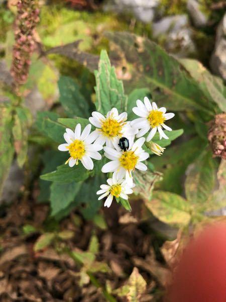 これはゴマナでしょうか? シロヨメナにしては葉の形が違うような‥ 野菊の見分けに自信がありません。 詳しい方、教えてください。 撮影は三重県の鈴鹿山脈の藤原岳です。