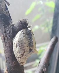 家で一ヶ月近く虫かごの中で飼育していた、はらびろ?カマキリが卵を生みました。形からは無精卵か、有精卵か判別が自分ではできませんでした。 カマキリは家の近くで、自転車に乗っているのを持ち帰りました。よろしくおねがいします。