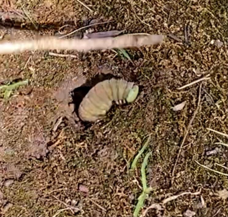 公園の土から半分体を出していて、かなり大きなイモムシでした。 緑っぽく、とにかく大きいのでびっくりでした。 名前が分かりますか? よろしくお願いします!