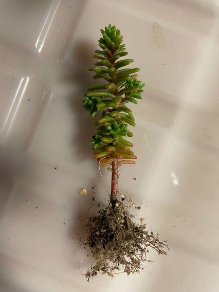 これは何という名前ですか? 多肉植物だと思います。 根本から先端まで7cmほどです。