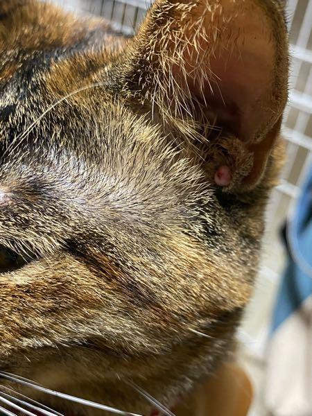 猫の耳に赤いイボのようなものがあります。 何かわかる方いらっしゃいますか?