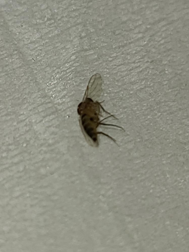 この虫なんて名前ですか? 部屋を飛んでました。