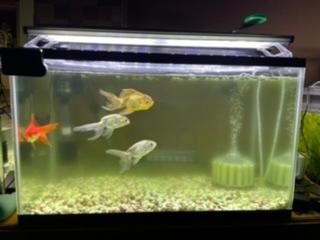 床直し2日後の写真です。 前回沢山のお知恵をお借りし、 言われた通りの手順で床直しをし、 水槽内の金魚を7匹→4匹へ。 ですが、もう濁りが出てきました。 水温は22度前後です。 残りの3匹の金魚は45センチ水槽に移し 泡立ちが出てきたので、バクテリア剤を入れ 回復し水槽内も綺麗なままの状態を 保っています。 これといった原因が分からないのですが 何かわかる方はいらっしゃいますか?