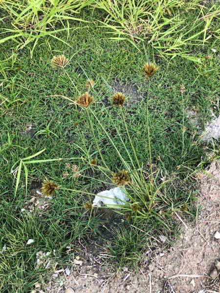 この植物何ですか? 沖縄の海辺にて