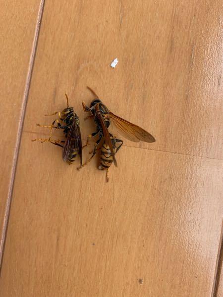 ハチの種類についての質問です 毎年この時期になると、家の中に10匹は入ってくるこのハチはなんという種類なのでしょうか? 住み始めて3年になるのですが、毎年大量に入ってきてこまっています…… 多いときでは1日に10匹ほど入ってきて、天窓に塊になっています…… エアコンの隙間から入っているのか、窓から入っているのかもわかりませんが子供もいて虫が大好きで 虫の種類が気になって仕方ないみたいなので教えていただけると嬉しいです!! ちなみに写真の個体は大小になってますが、オスとメスなのでしょうか?