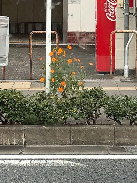 この花はなんでしょう? 大阪で秋に咲いています