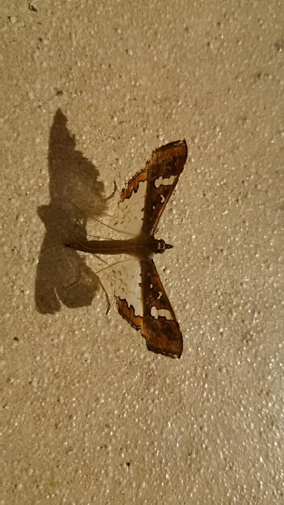 この蛾の名称を教えてください。