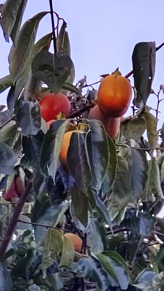これは柿でしょうか?