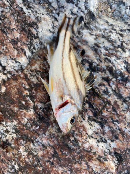 このような魚が釣れたんですけどなんていう魚ですかね?漁港内で釣れました。このくらいのサイズが大半です。