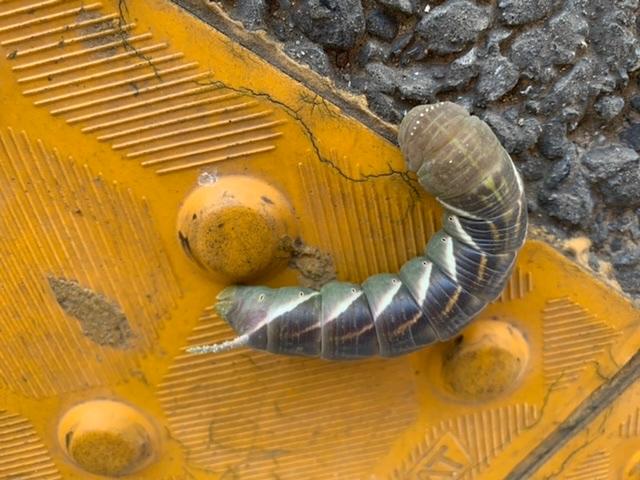 変わったイモムシがいました。 触ると攻撃的にくねくね動きます。 結構大きいです。 蝶の幼虫ですか??
