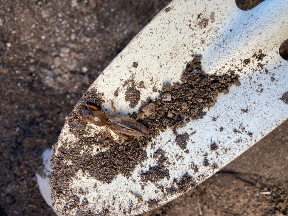 土の中から出てきたのですが、この虫はなんでしょうか。