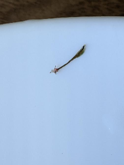 雄メダカの背びれ付近に画像のようなもの刺さっていました。 寄生虫の類でしょうか。 長さは背びれと同じくらいです。