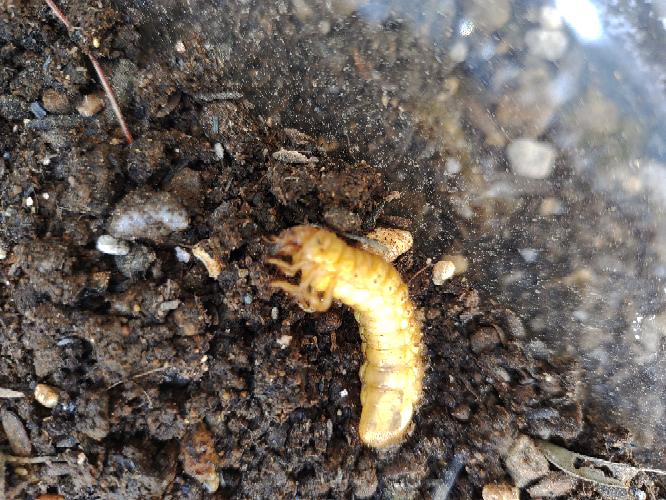 ヤマボウシの苗を買ったら根に埋まっていました。何の幼虫でしょうか?