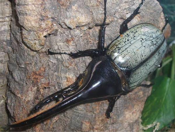 至急です。 このカブトムシの名前分かりますか?