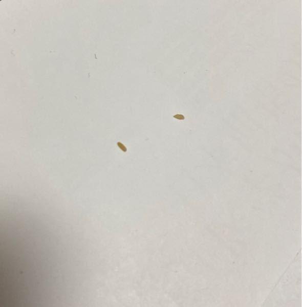 布団のシーツの下に数ミリ程度の大きさの、 黄色っぽい白色の虫?みたいな卵みたいなものを 私が見つけた中で5つくらい見つけました…。( ; ; ) ペットは飼っていません。 これは虫なんでしょうか…。気持ち悪いです、、 助けてください( •  • )