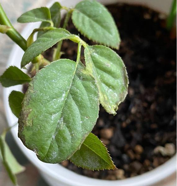 バラを育てているのですが、葉の縁がこのように枯れてしまいました。なんの病気かわかる方はいらっしゃいますでしょうか?