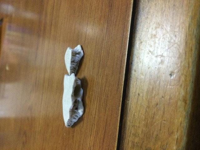 海で拾ったのですが、何の骨か分かりません。海亀かな?と思うのでが、ギザギザがあって確証が持てません。なので投稿してみました。
