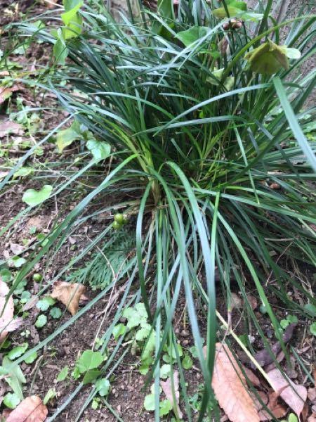 これは何という植物ですか? まだ青いですが下の方に実がなっています。