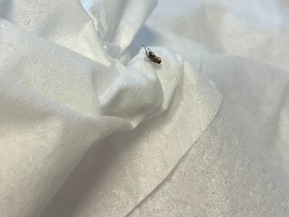 この虫はなんという虫でしょうか? 家の中で1日に数匹現れることもあり困っています。 体長は2-3mm程度で、 頭は黒・茶色っぽく体は縞模様になっていました。