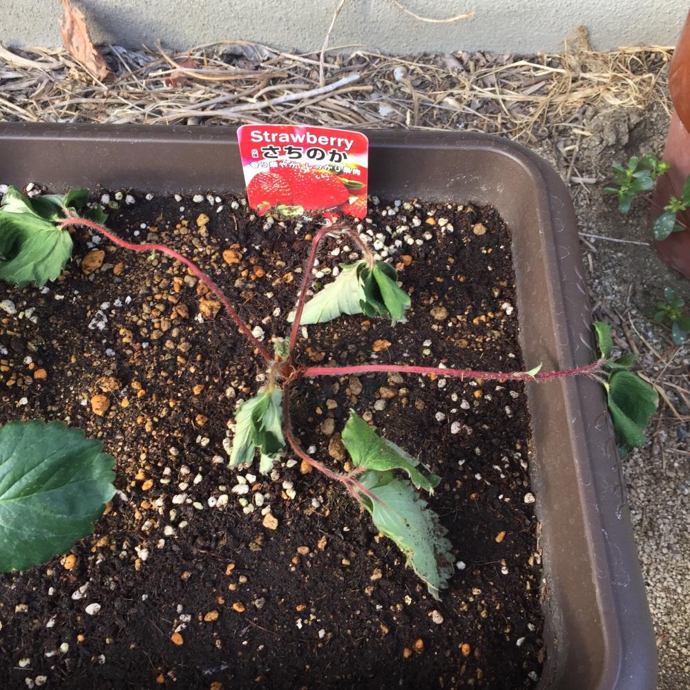 家庭菜園のいちごです。 10月中旬に植えましたが画像の通り元気がなくなってしまいました。計6個植えてヘタってしまったのは、さちのかという品種です。ほかは元気です。 これはもう枯れてしまったのでしょうか。一応真ん中から新芽が出てきています。元気がない茎は切った方がいいでしょうか?初心者なので、どうすればいいか分かりません。誰か詳しい方がいらっしゃったらよろしくお願いします...(´;ω;`)