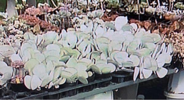 画像の多肉植物について質問です。 テレビで放映されていたのを写真に撮ったため、画像が荒く申し訳ありません。 この植物の名前は何というのでしょうか?