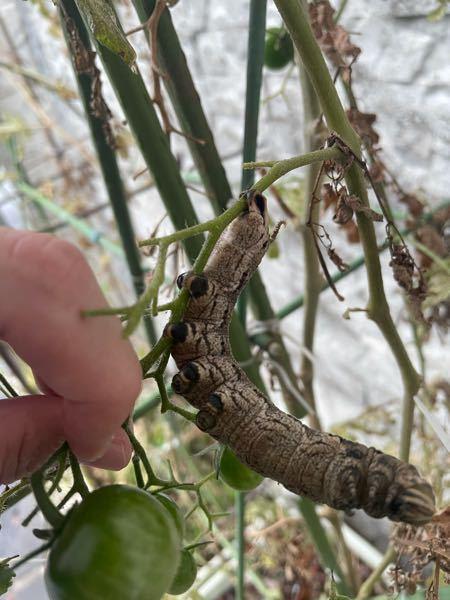 *閲覧注意!虫の画像が出ます。 家庭菜園のプチトマトに都会では見たことないレベルの大きさのスズメ蛾っぽい幼虫がいました。これの正式な名前をご存知の方教えてください。 また、つついても左右に力強くグネグネ揺れるだけで、歩いたりすることはないのですが、これは前蛹なのでしょうか