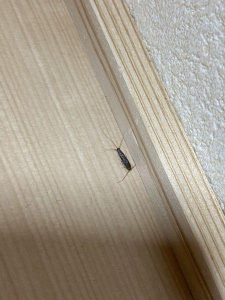 この虫何か分かる方居ますか? 最近部屋によく出てきて困っています…。