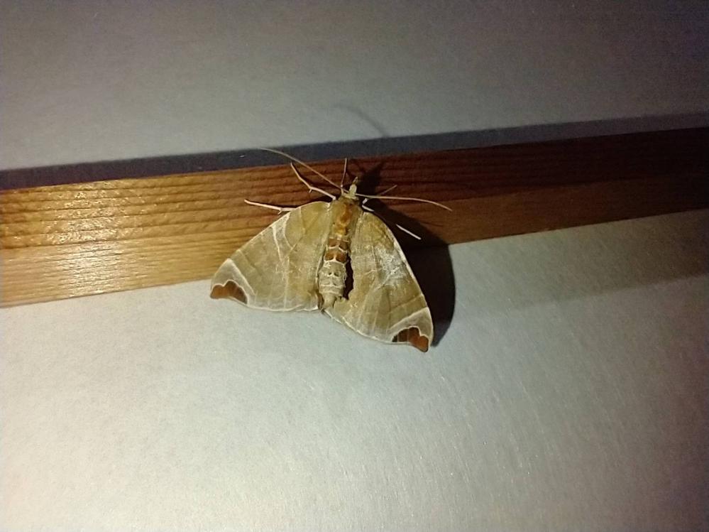 この蛾は、なんという種類ですか? 今撮った写真です。(関東)