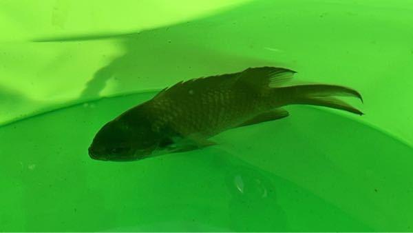 なんの魚かわかる方教えてください。 個体がわからなくても種類や属だけでも、少しでもわかる方がいたら是非お願いします。