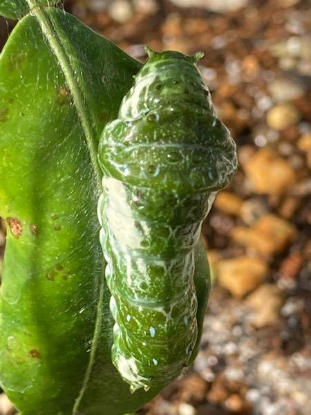 この青虫は、何アゲハでしょうか? レモンの葉っぱについてますが、 食草は、山椒を与えても大丈夫でしょうか?