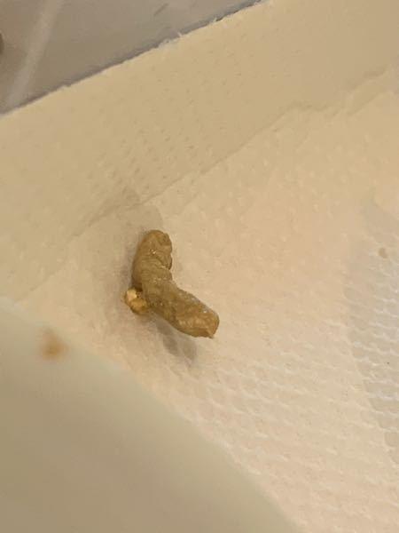 これはなんでしょうか? レオパのベビー(お迎えから拒食中)のゲージにありました。 うちでは活ミルワームを与えていますが、食べないのでショップで与えていたという冷凍コオロギを試したのですが食べず……。 置きエサには出来ないので、活ミルワームにコオロギの体液をつけて置きエサにしたのですが、朝見ると1匹減っていました。 そしてこれが落ちていました。 吐き戻しかと思ったのですが、大きさが1.5cm↑ほどで大きく、ミルワームはベビー用に小さいものを与えていたのでサイズが合いません。 これは一体なんでしょうか……。 糞だといいんですが、色が微妙ですよね。 違う場所に尿をした形跡があり、今までした糞は全て黒でした。 レオパは4匹目ですが、見たことがなく……。 知っている方がいたら教えてください。
