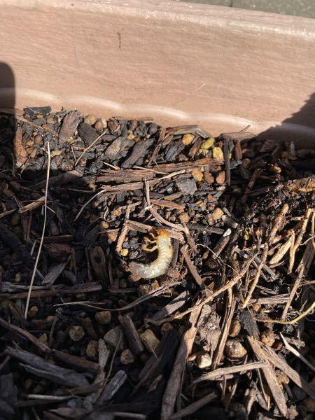閲覧注意! これって何の幼虫でしょうか? 花壇の中に何匹かいたのですが、殺した方が良いですかね?