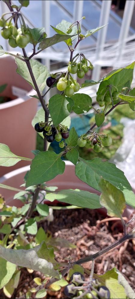 植物? 水菜を種から植えて失敗して放置してた鉢からなんだか立派な植物が…何の植物でしょうか? わかる方教えて下さい!